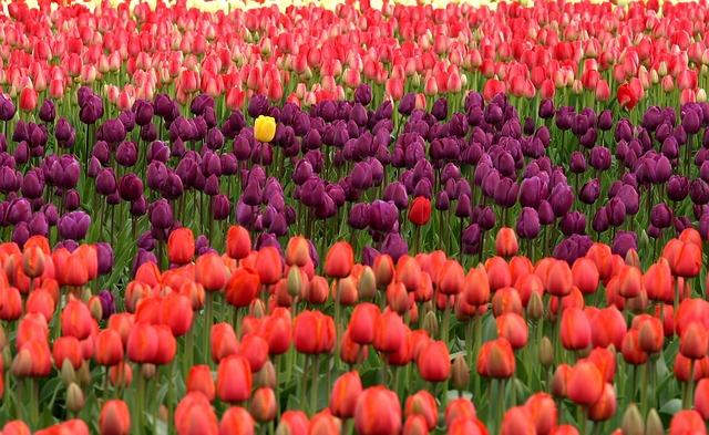 tulips-175605_640